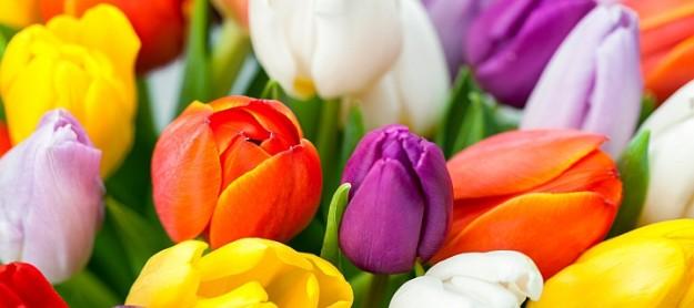 fr hlingsblumen tulpen strau mit 30 bunten tulpen jetzt bei blume ideal f r nur 14 95 euro. Black Bedroom Furniture Sets. Home Design Ideas